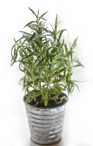 Rosemary Herb for Hair Growth